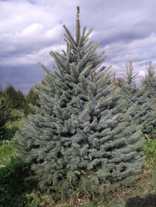 Blue_Spruce_Christmas_tree_350
