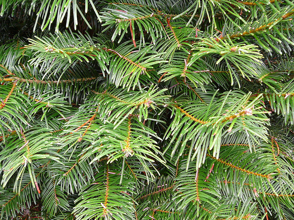 Like all fir trees the douglas offers very good needle retention and
